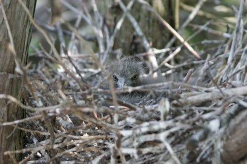 Black-crowned Night Heron chick. (Sarah Island, 05.16.2013, CLT)