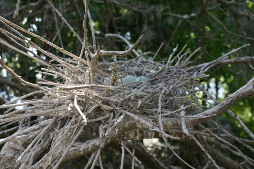 Black-crowned Night Heron nest. (Sarah Island, 05.16.2013, CLT)