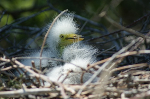 Great Egret chick. (Sarah Island, 05.16.2013, CLT)